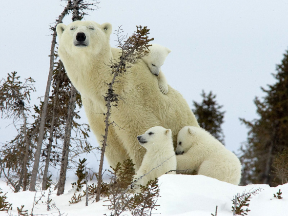 polar-bear-cubs-canada_wallpaper