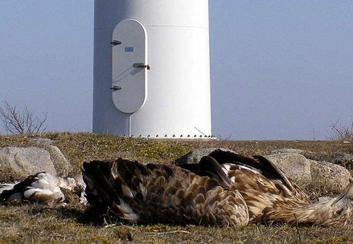eagle, dead at wind turbine_1