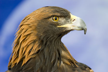 Golden-eagle-430