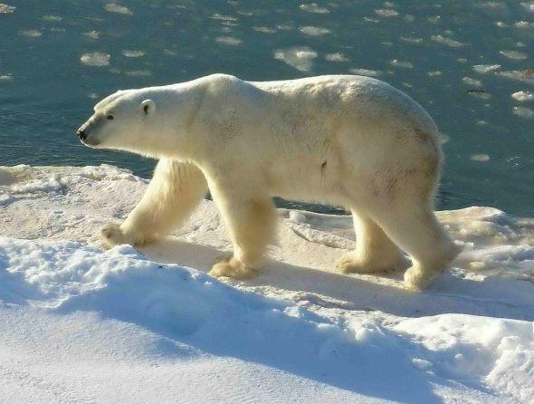 Churchill_Polar_Bear_2004-11-15 Wikipedia