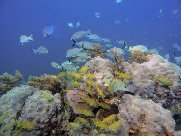 Orbicella, a genus of reef-building corals, may be able to survive future climate change. CREDIT Monica Medina, NMNH