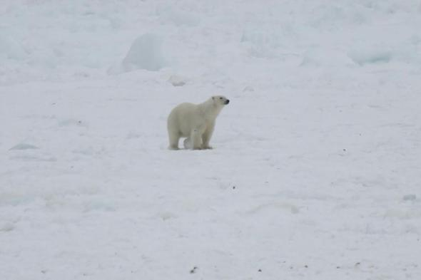Melrose nfld Polar Bear 02_2017 April 3_Brandon Collins shared photo The Packet