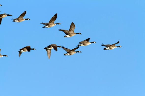geese-in-v-formation