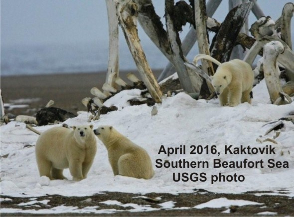Fat mother and cubs_Southern Beaufort April 2016_USGS