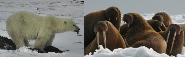 Churchill polar bear and walrus 2017