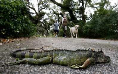 Frozen Iguanas Florida