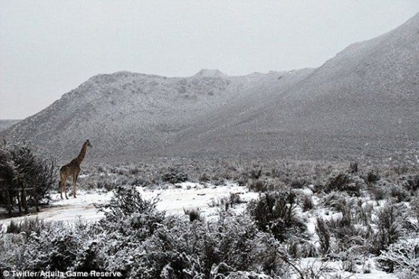 A giraffe stands amid the snow at the Aquila Game Reserve, which is located around 100 miles inland from Cape Town | Daily Mail Online