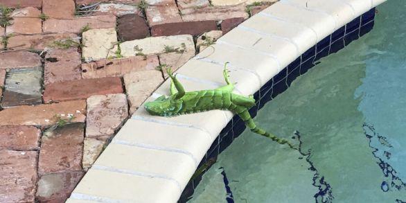 ap-florida-frozen-iguanas