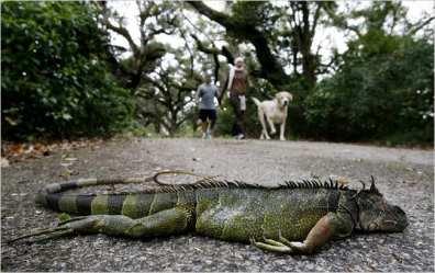 frozen-iguanas-florida