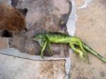 frozen-stunned-iguana-florida