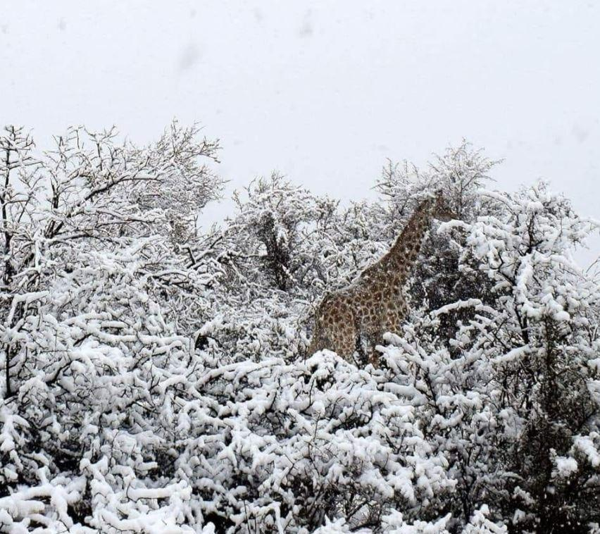 Giraffes and elephants wander about in the snow after freak blizzards hit Africa