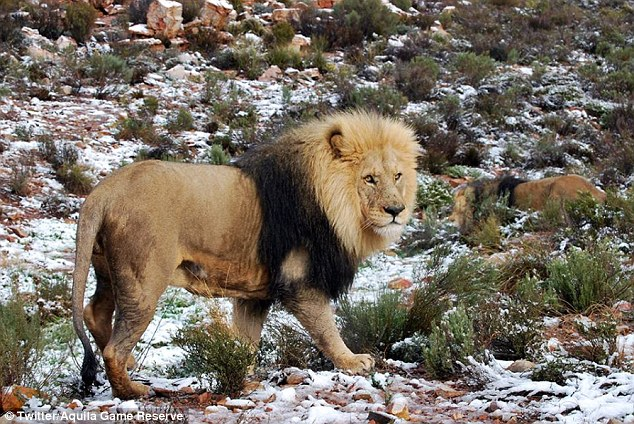 Giraffes, elephants and lions spotted walking in snow in South Africa | Daily Mail Online