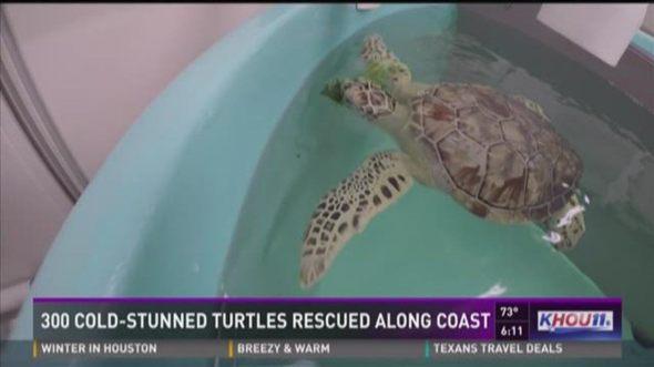 300 cold stunned turtles rescued along Texa coast - KHOU11