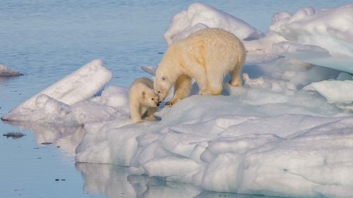 polarbear1_wikimedia_andreas-weith-photo-svalbard-sm.jpg