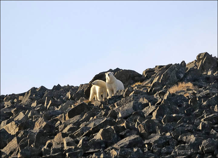 Polar bears on the cliff at Cape Kozhevnikov Maxim Deminov WWF from Siberian Times 2017