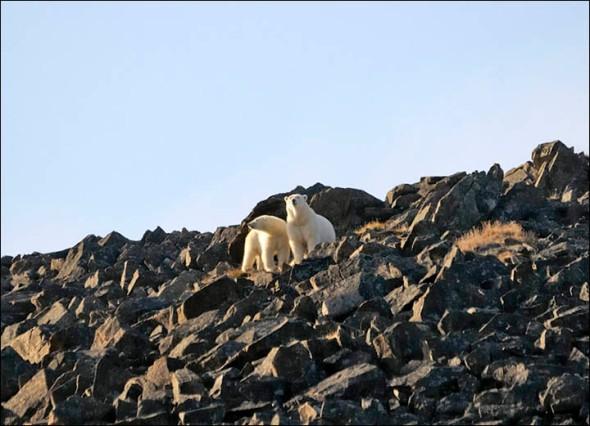 Polar bears on the cliff at Cape Kozhevnikov Maxim Deminov WWF from Siberian Times 2017