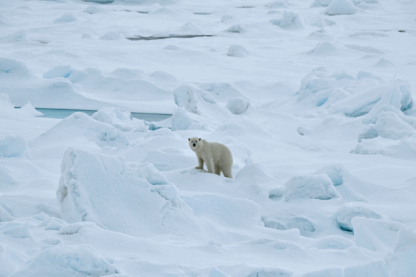 Franz Josef Land polar bear 2019 no date_Photo by Michael Hambrey_sm